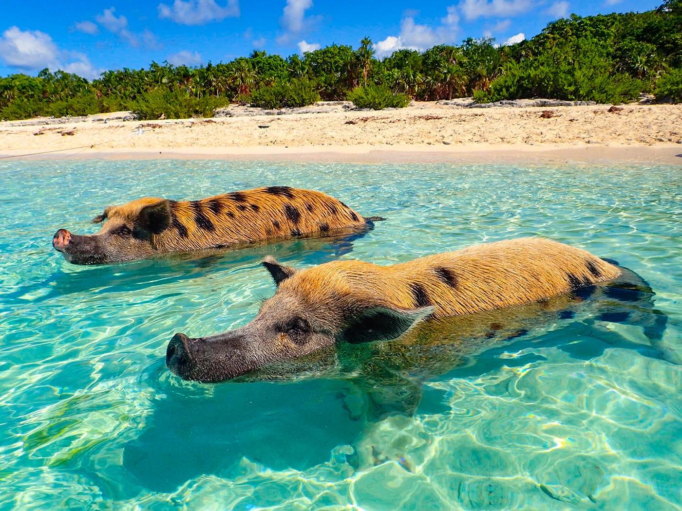 Schwimmende Schweine am Strand - Traumurlaub Bahamas -Urlaubsengel Reisebüro Weinheim