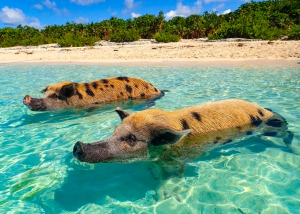 Schweine am Strand von Pig Island - Urlaubsideen Bahamas