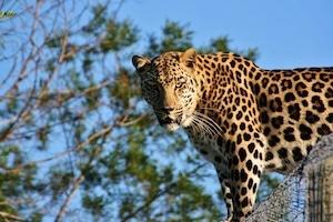 Leopard - Traumreisen Südafrika Safari