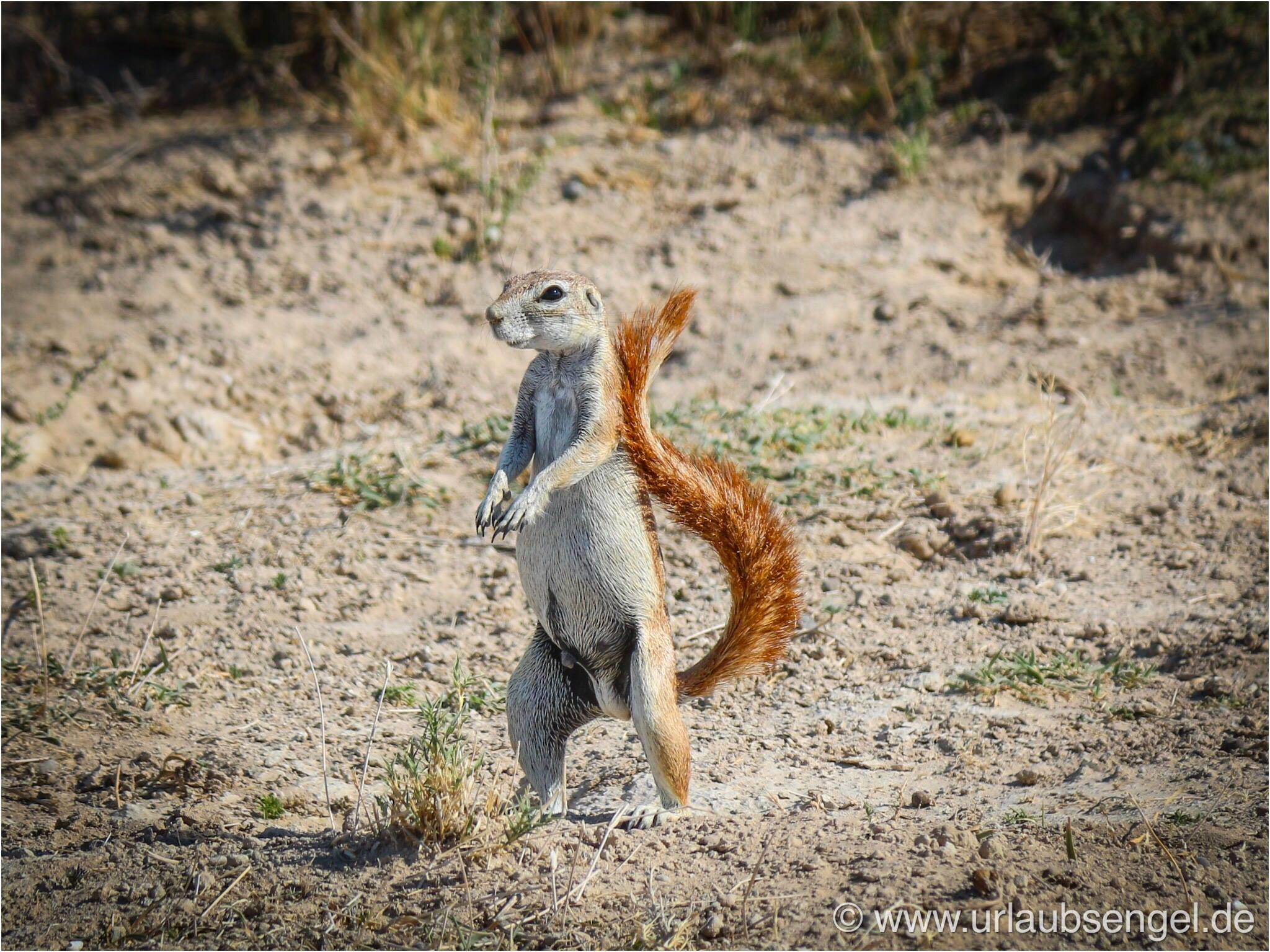 Erdmännchen im Etosha Nationalpark Namibia