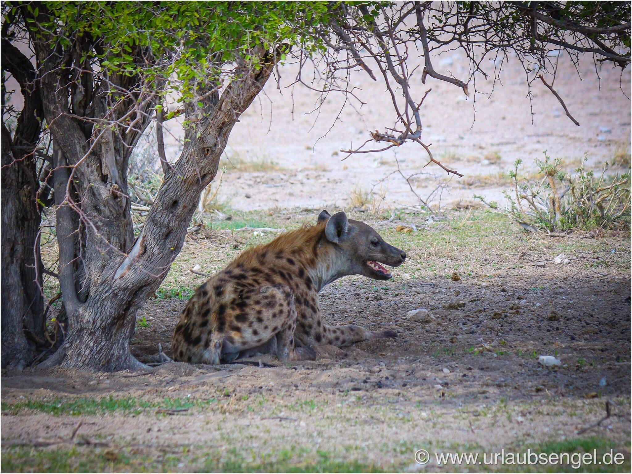 Hyäne im Etosha Nationalpark Namibia