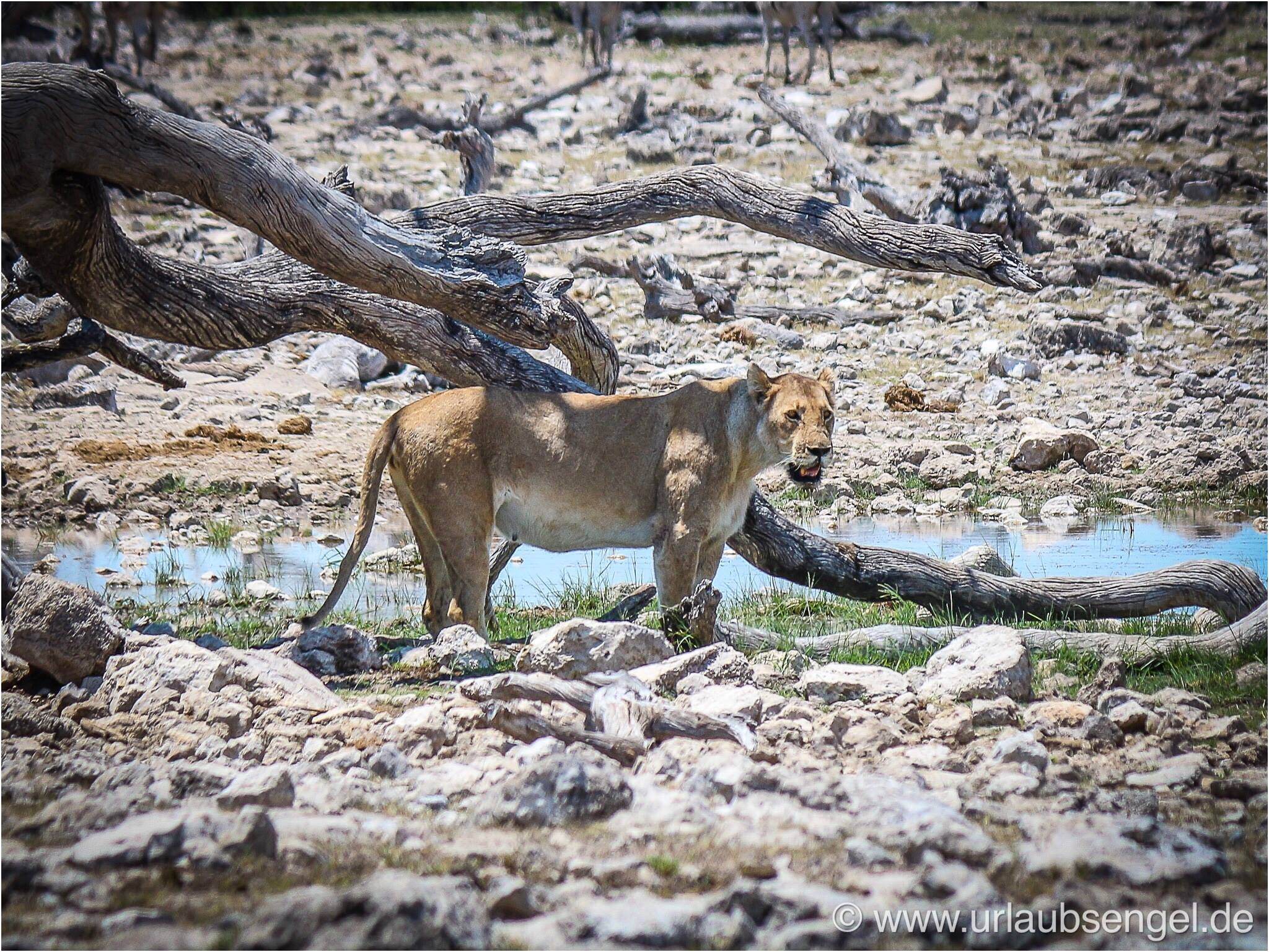 Löwe im Etosha Nationalpark Namibia