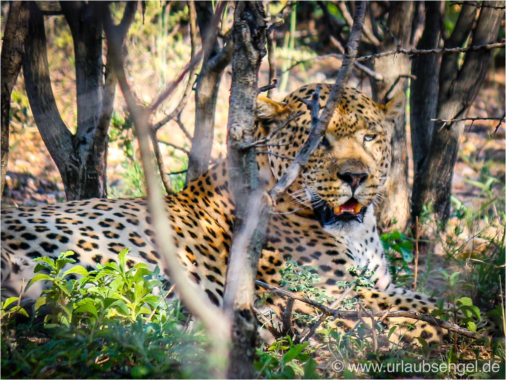 Leopard im Okonjima Bush Camp - Africat Namibia
