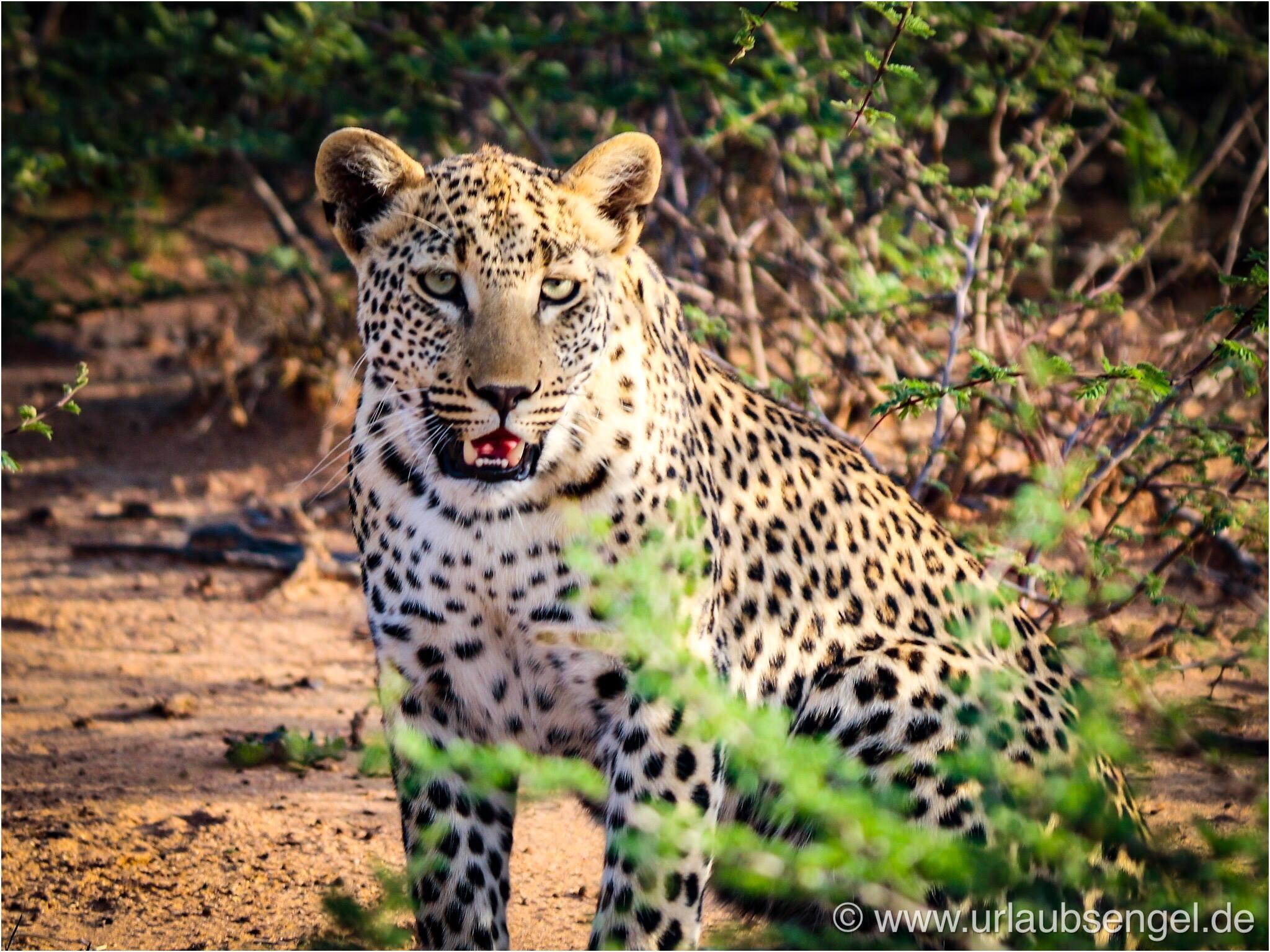 Leopardenbaby im Okonjima Bush Camp - Africat Namibia