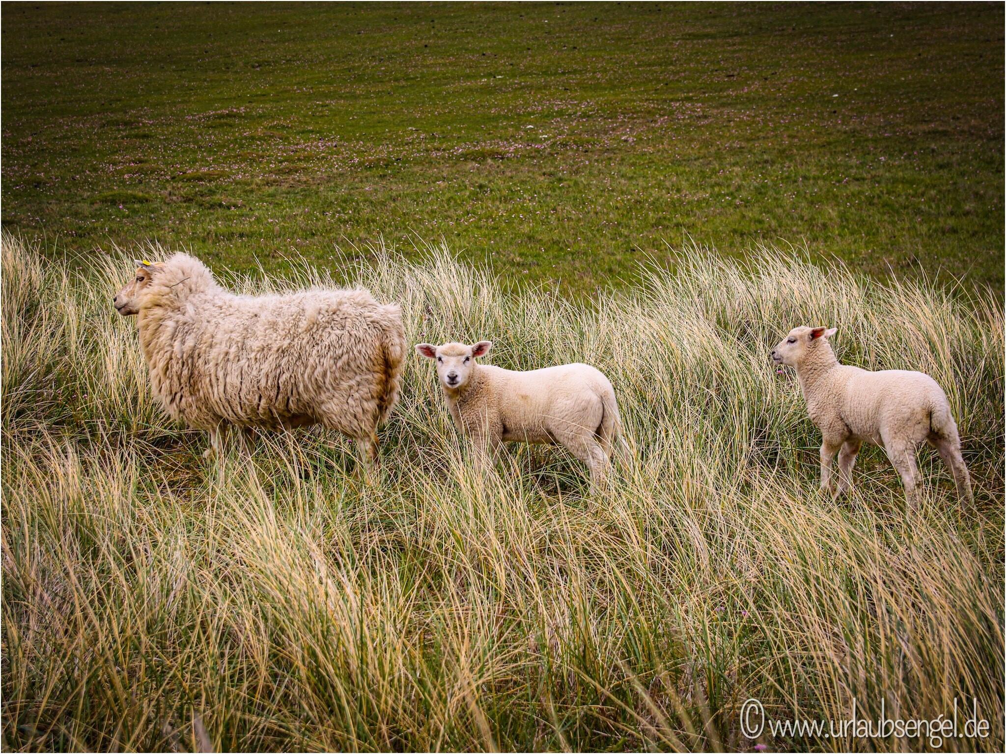 Schafe auf dem Ellenbogen