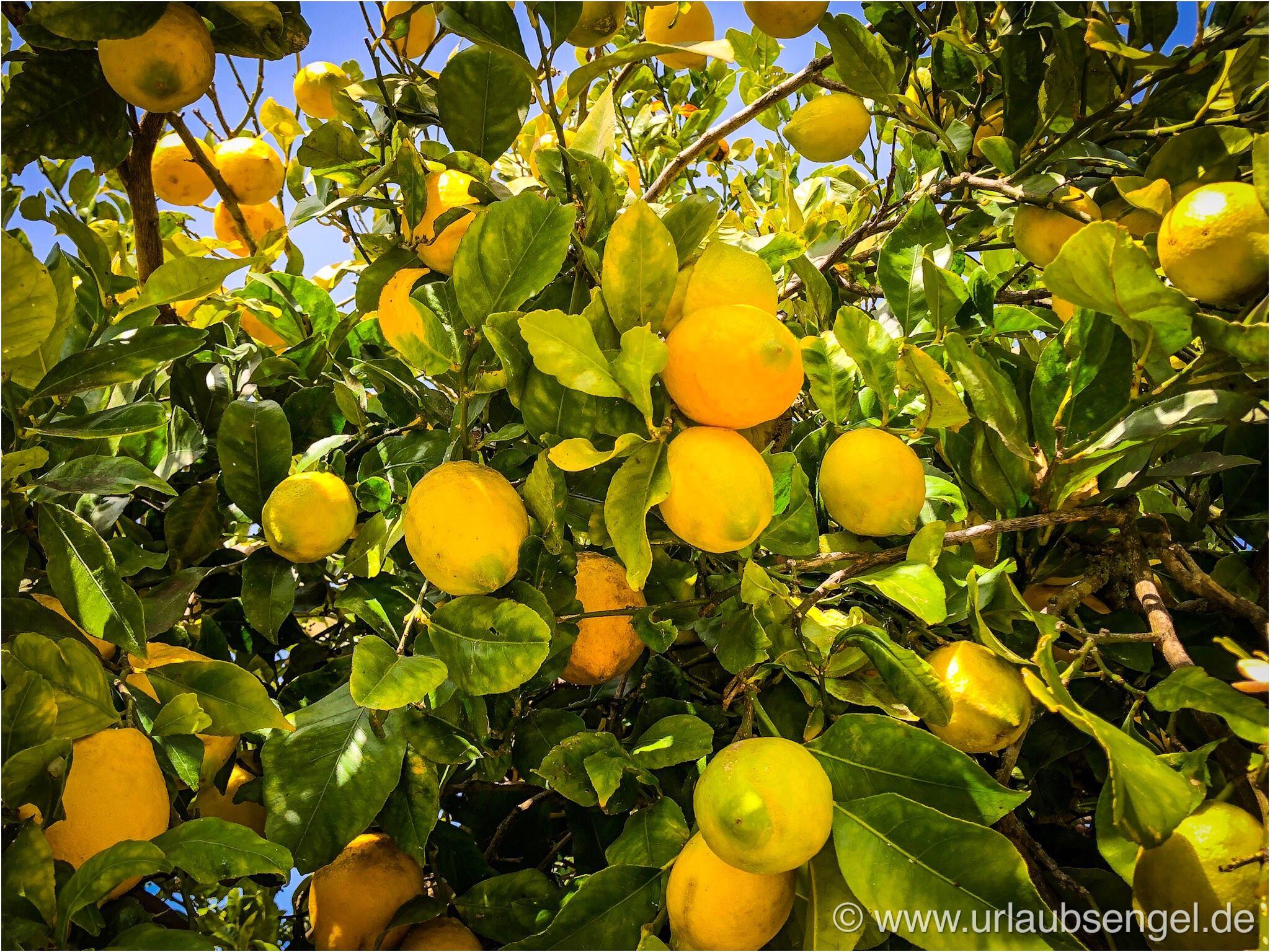 Zitronen am Baum Ibiza . Ca Na Xica