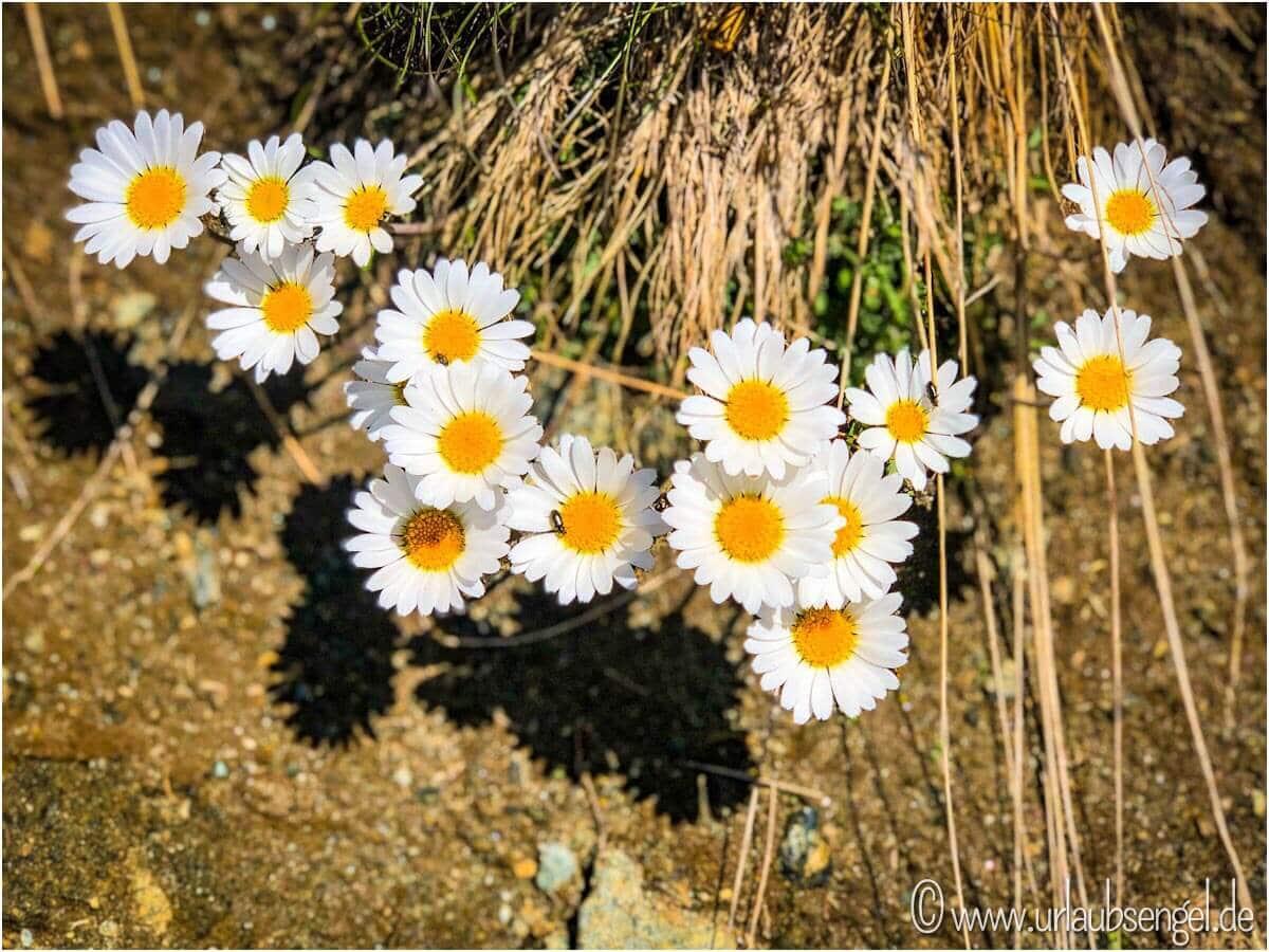 Blumen auf dem Weg nach Zermatt