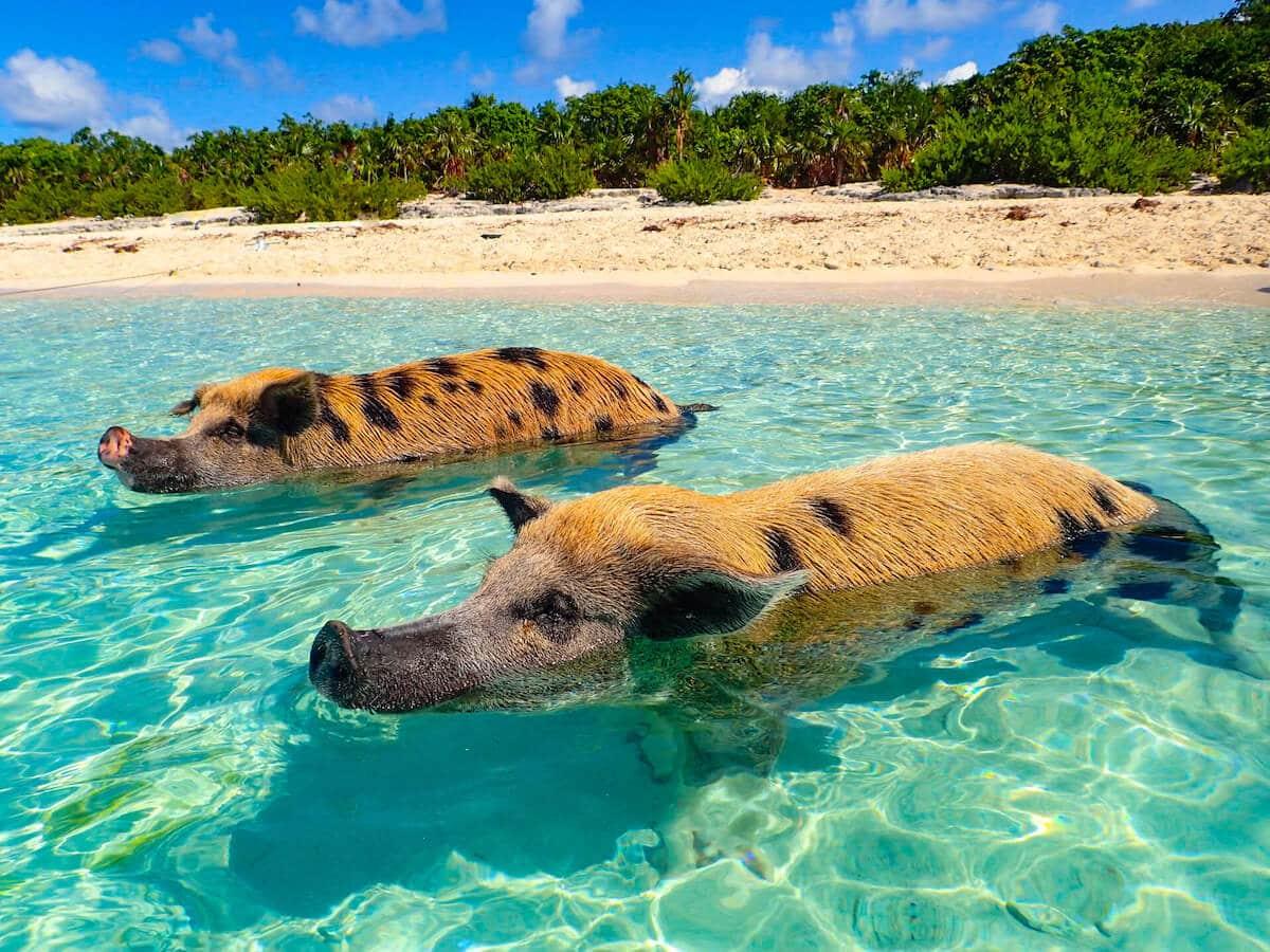 Hochzeitsreisen Bahamas - Schwimmende Schweine