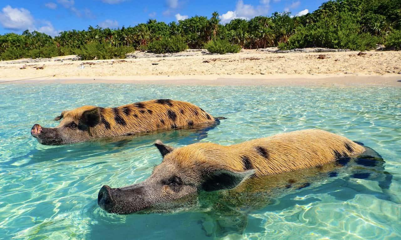 Schwimmende Schweine in Glasklarem Wasser auf den Bahamas