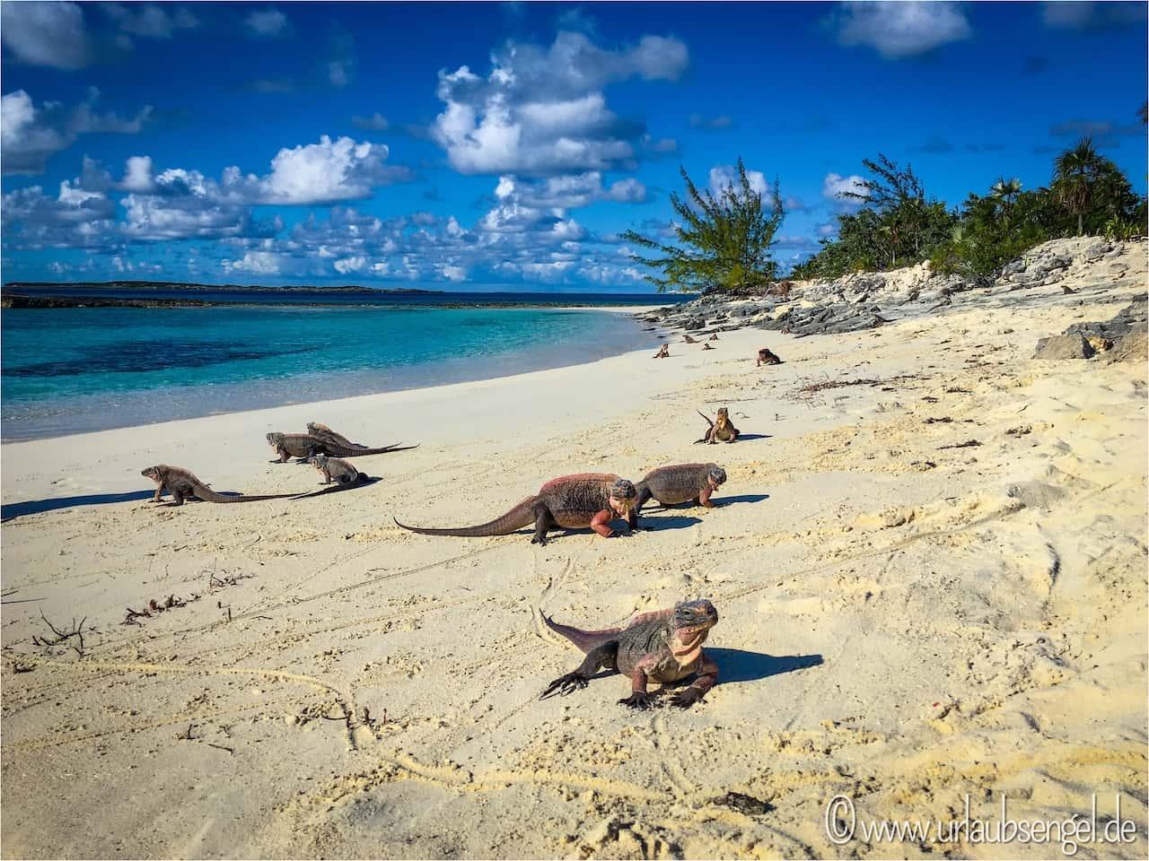 Leguane auf Iguana Cay, Bahamas