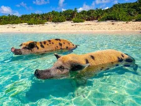 Schweine auf den Bahamas | Urlaubsengel Reisebüro Weinheim